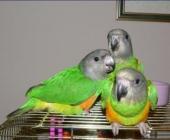 попугаи Сенегальские_1