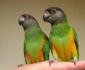 попугаи Сенегальские_2