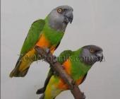 Пара Сенегальских попугаев_1
