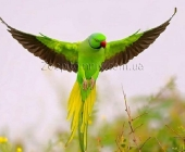 Ожереловые попугаи_1