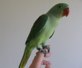 Александрийский попугай_1