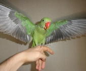 Александрийский попугай_2