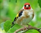 Отечественные певчие птицы