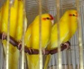 Какарики птенчики ручные_1
