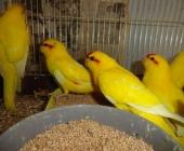 Какарики птенчики ручные_5