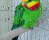 Розкошный Австралийский попугай Барабандовый_1