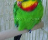 Розкошные  австралийские Барабандовы  попугаи